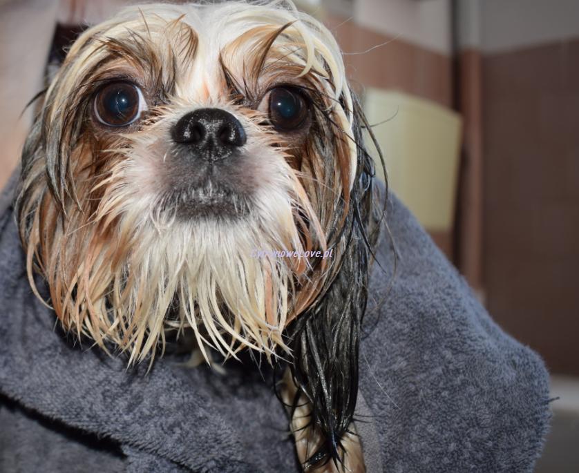 pies boi się kąpieli