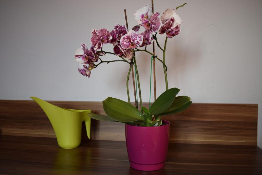 jak podlewać storczyki orchidee