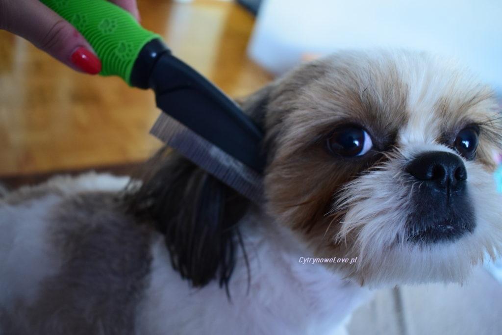 czesanie psa ShihTzu
